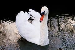 Il cigno bianco maestoso fotografia stock