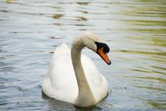 Il cigno bianco nuota lungo il lago un giorno soleggiato Fotografia Stock