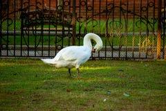 Il cigno bianco pulisce le piume che stanno sull'erba verde Oca allo zoo immagine stock libera da diritti
