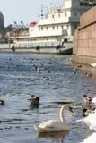 Il cigno bianco selvaggio nuota in fiume alla città industriale concentrare Immagine Stock