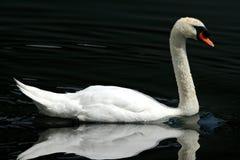 Il cigno bianco solo ha riflesso sul lago Fotografia Stock Libera da Diritti