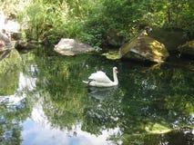 Il cigno bianco sul lago nel parco fotografie stock