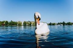 Il cigno bianco sveglio della tolleranza anteverted la testa sul lago Alster un giorno soleggiato a Amburgo Fotografia Stock