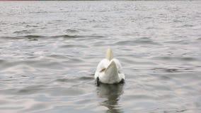 Il cigno bianco sveglio sta galleggiando sulle onde del fiume, giranti indietro video d archivio