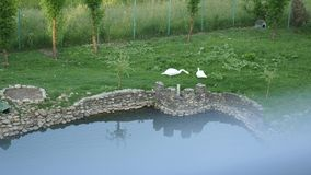 Il cigno cammina erba vicino al lago Due cigni che pascono in un prato e che mangiano erba Il cigno mangia l'erba Un cigno cammin stock footage