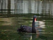 Il cigno nero galleggia in uno stagno Fotografie Stock Libere da Diritti