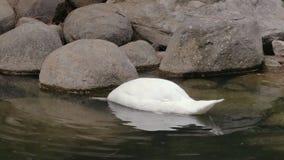 Il cigno nuota e si tuffa un lago in parco video d archivio