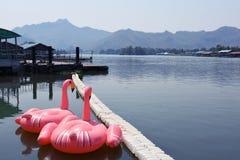 Il cigno rosa gioca nella provincia Tailandia di kanchanaburi del fiume di riverkwai Fotografia Stock
