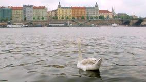 Il cigno selvaggio sta nuotando sul fiume nel giorno di molla nuvoloso a Praga stock footage