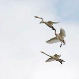 Il cigno selvatico, cygnus del Cygnus Fotografia Stock Libera da Diritti