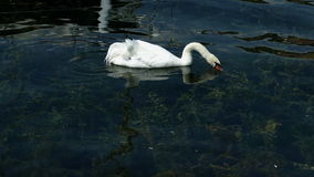 Il cigno solo con un'ala ferita nuota sul lago ohrid stock footage
