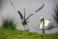 Il cigno spinge Grey Heron Immagini Stock Libere da Diritti