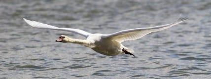 Il cigno sta decollando dall'acqua Fotografie Stock