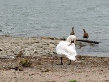 Il cigno su pulizia della sponda del fiume mette le piume a con le oche di Nilo Fotografia Stock