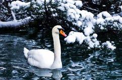 Il cigno su un lago nell'inverno alpen l'ambiente, alpi sanguinate e slovene Immagine Stock Libera da Diritti