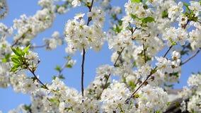 Il ciliegio di fioritura contro cielo blu, bei fiori bianchi sull'albero in primavera fa il giardinaggio stock footage