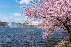 Il ciliegio di fioritura nel lago Alster puntella a Amburgo, Germania il giorno soleggiato Fotografia Stock