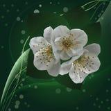 Il ciliegio fiorisce il primo piano Fotografia Stock