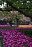 Il ciliegio sbocciante nel parco Fotografia Stock Libera da Diritti