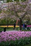 Il ciliegio sbocciante nel parco Fotografie Stock