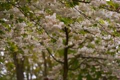 Il ciliegio sbocciante nel parco Fotografia Stock