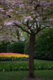 Il ciliegio sbocciante nel parco Immagini Stock