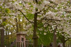 Il ciliegio sbocciante nel parco Immagine Stock