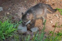 Il cinereoargenteus di Grey Fox Kit Urocyon annusa la roccia Fotografie Stock Libere da Diritti