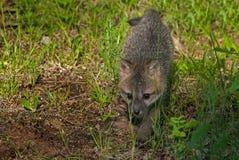 Il cinereoargenteus di Grey Fox Kit Urocyon cammina in avanti Fotografie Stock Libere da Diritti