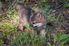 Il cinereoargenteus di Grey Fox Kit Urocyon guarda a sinistra Immagini Stock