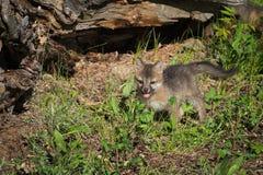 Il cinereoargenteus di Grey Fox Kit Urocyon sta davanti al ceppo Immagini Stock Libere da Diritti