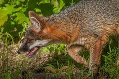 Il cinereoargenteus di Grey Fox Vixen Urocyon insegue il primo piano sinistro Immagini Stock
