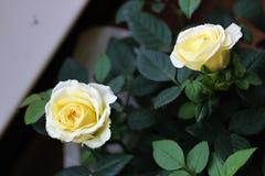 Il cinese giallo è aumentato nel giardino Immagine Stock Libera da Diritti
