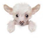Il cinese sveglio divertente crested il cucciolo sopra l'insegna bianca Fotografia Stock