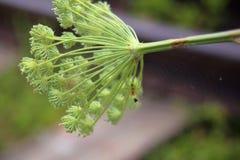 Il cingulatus del Araneus del ragno, il suo web e la camera pupal fotografia stock