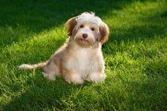 Il cioccolato felice ha colorato il cucciolo havanese nell'erba fotografia stock