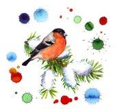 Il ciuffolotto dell'inverno sul ramo dell'abete rosso della neve a colori la sgocciolatura macchia Immagini Stock Libere da Diritti