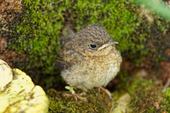 Il ciuffolotto dell'uccellino implume (murina del Pyrrhula) Fotografie Stock