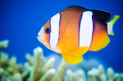 Il clarkii del Amphiprion dei anemonefish di Clark sta nuotando intorno fotografia stock