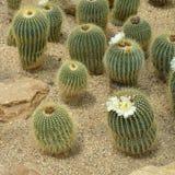 Il claviceps Spegazz di Parodia., cactus si sviluppa in sabbia fotografia stock libera da diritti