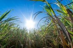 il clouse sul giacimento della canna da zucchero con cielo blu ed il sole rays le sedere della natura Fotografia Stock Libera da Diritti
