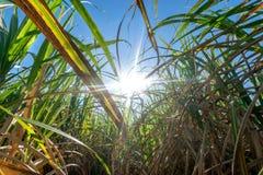 il clouse sul giacimento della canna da zucchero con cielo blu ed il sole rays le sedere della natura Fotografia Stock