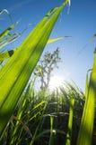 il clouse sul giacimento della canna da zucchero con cielo blu ed il sole rays le sedere della natura Immagine Stock Libera da Diritti