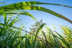 il clouse sul giacimento della canna da zucchero con cielo blu ed il sole rays le sedere della natura Immagine Stock
