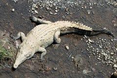 Il coccodrillo (alligatore) mette sulle banche del fiume Fotografie Stock