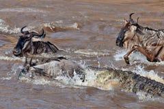 Il coccodrillo attaca il wildebeest in fiume Mara Fotografie Stock Libere da Diritti