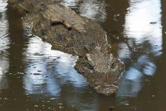 Il coccodrillo dell'acqua salata Fotografia Stock