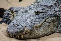 Il coccodrillo dorme stasera Fotografia Stock