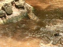 Il coccodrillo mangia la carne in lago video d archivio