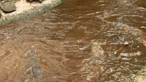 Il coccodrillo mangia la carne in lago stock footage